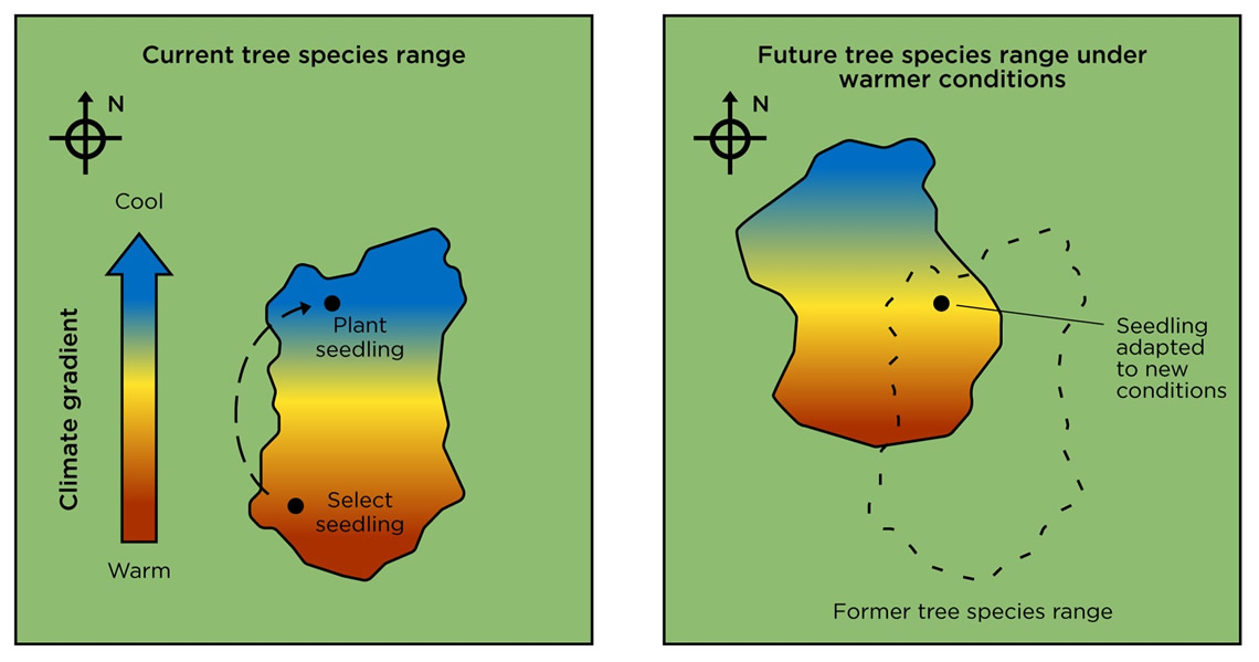 Diagram consisting of two frames. The first frame shows how a tree seedling is selected from the warmer southern part of the tree's range and then planted further north. This allows the tree to be better adapted to warming conditions in the north.