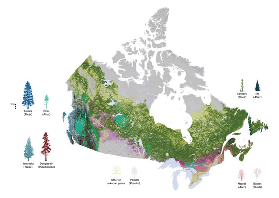 Small-scale raster map showing forest composition across Canada.