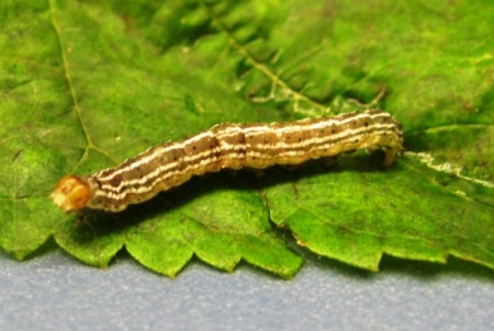 Insect care instructions, biology information and photos