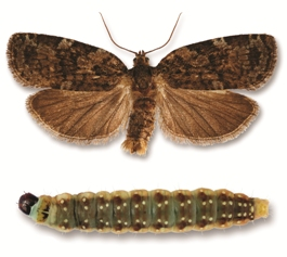 Eastern spruce budworm adult moth and caterpillar.