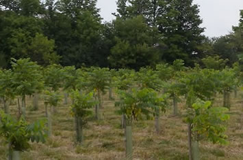 Photo showing black walnut trees in the middle of their third growing season.