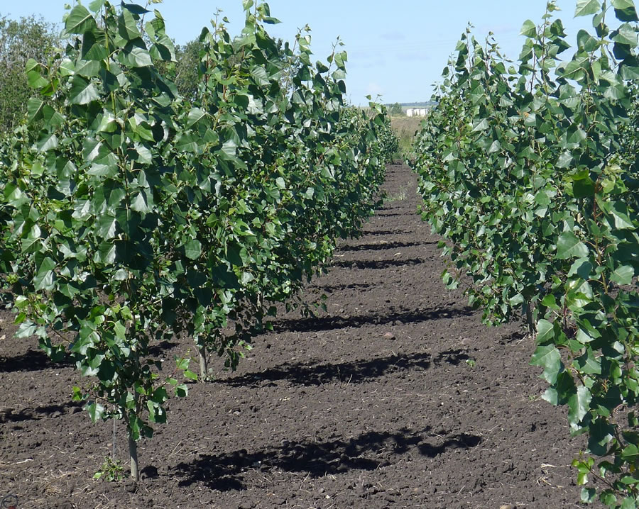 Irrigated hybrid poplar afforestation plantation in Clairmont, Alberta