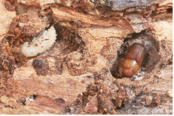 Mountain pine beetle pupa and immature adult. Photo: D. Manastirski