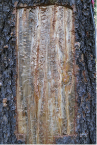 Mountain pine beetle damage—galleries and blue-stained sapwood. Photo: K. Bleiker, CFS