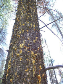 Pitch tubes on a lodgepole pine tree killed by the mountain pine beetle. Photo: K. Bleiker, CFS
