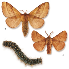 Forest tent caterpillar and adult moths (male and female).