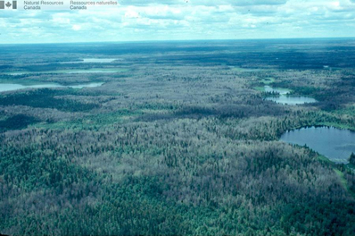 Aerial view of a forest damaged by the forest tent caterpillar.
