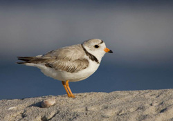 FIGURE 13: Piping plover, an endangered species that utilizes coastal areas. Photo courtesy of Sidney Maddock.