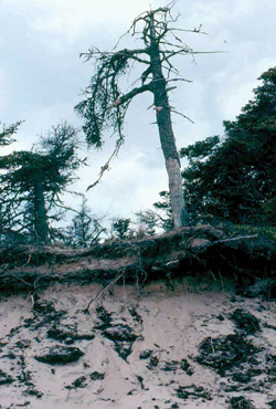 FIGURE 24: Wind and coastal erosion resulting in death of conifers, Red Point, PE.