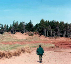 FIGURE 29a: Excessive tourist foot traffic facilitates erosion of coastal dunes, Malpeque, PE .