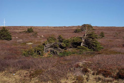 Photo showing Boreal Forest ecozone - exposed coastal barrens and tuckamore landscape