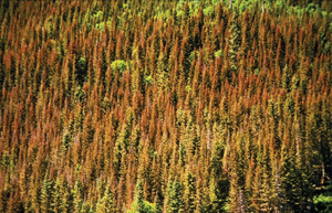 forest with pine beetle infestation
