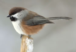 Boreal chickadee. Photo: Kirk Zufelt