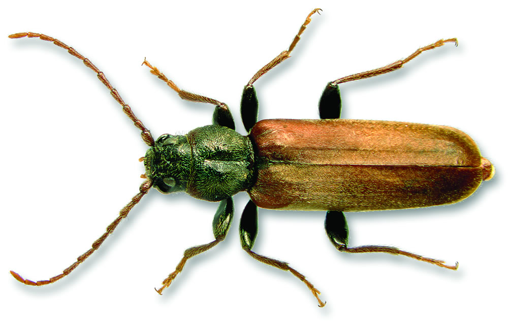 Brown spruce longhorn beetle   Natural Resources Canada