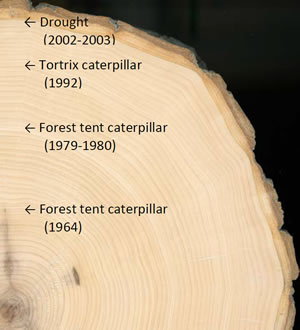 "Aspen tree ""cookie"" sample with annotated growth history. Photo: Ray Darwent"