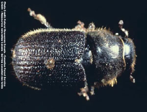 Mountain pine beetle (Dendroctonus ponderosae)(Photo: Canadian Forest Service)