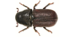 An adult mountain pine beetle.