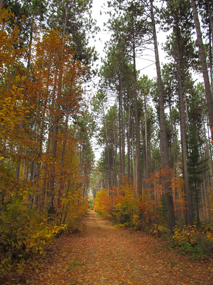 A forest road covered with orange and yellow leaves and edged by fall foliage and tall conifers.
