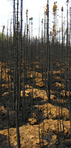 Recently burned forested bog showing lightly burned sphagnum hummocks near Slave Lake Alberta, September 2011
