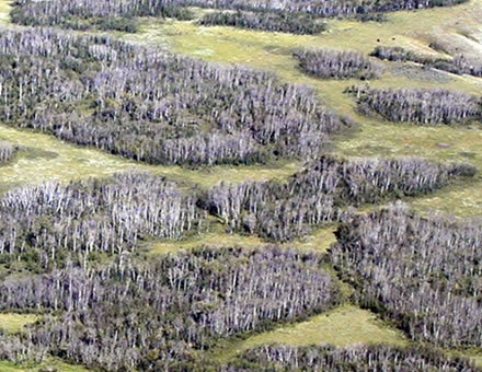 Photo showing dead aspen stands as a result of the severe drought in western Canada in 2001–2002 that resulted in widespread tree mortality.