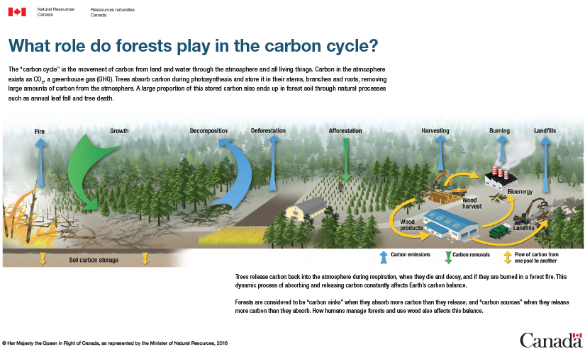 Infographic what role do forests play in the carbon cycle the role of forests in the carbon cycle illustrated in an infographic composed of elements such ccuart Images