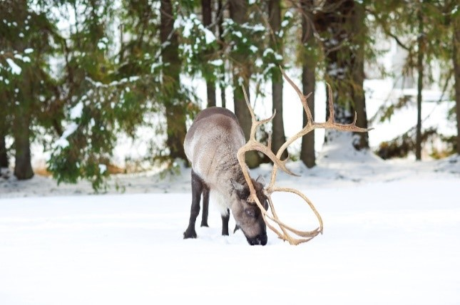 One Caribou in the snow