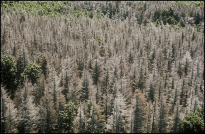 Aerial view of a forest disturbed by the presence of eastern spruce budworm. Photo: Johanne Delisle
