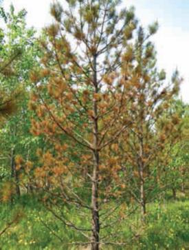 Lodgepole pine affected by Dothistroma needle blight in central Alberta in 2015.