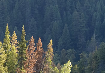 Trees damaged by mountain pine beetles