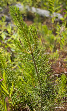 A pine tree grows after a forest fire. Although natural disturbances do create a temporary loss in the forest cover, in the long term they help forests stay healthy and encourage diversity in the tree, plant and animal species that inhabit them.