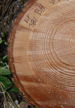 This photo shows growth rings on the cross section of a tree trunk.