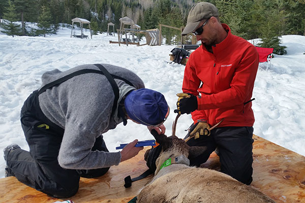 Technicians equipping a tranquilized caribou with a GPS collar.