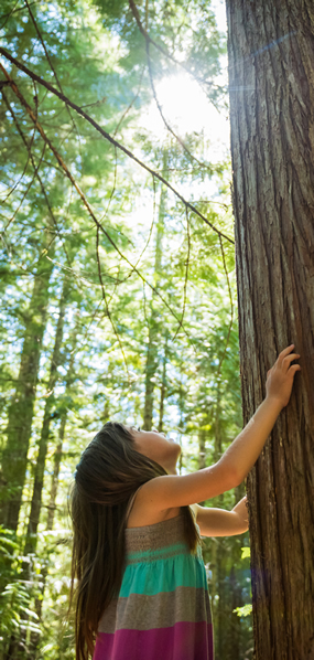 Young girl touching the truck of an old growth cedar tree and looking upwards
