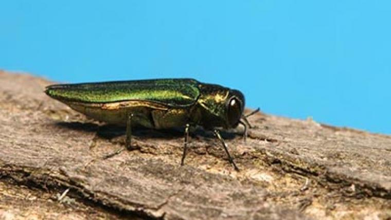 Fighting the emerald ash borer with science