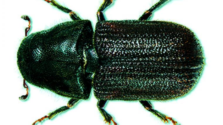 Slowing the march of the mountain pine beetle