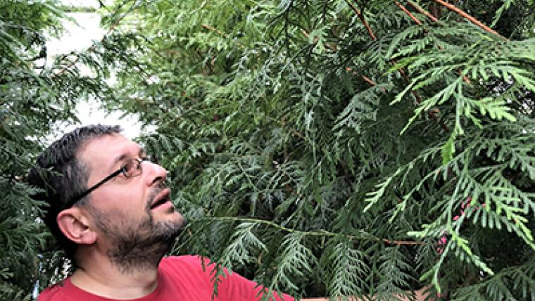 A mystery at the core of Canada's western redcedar