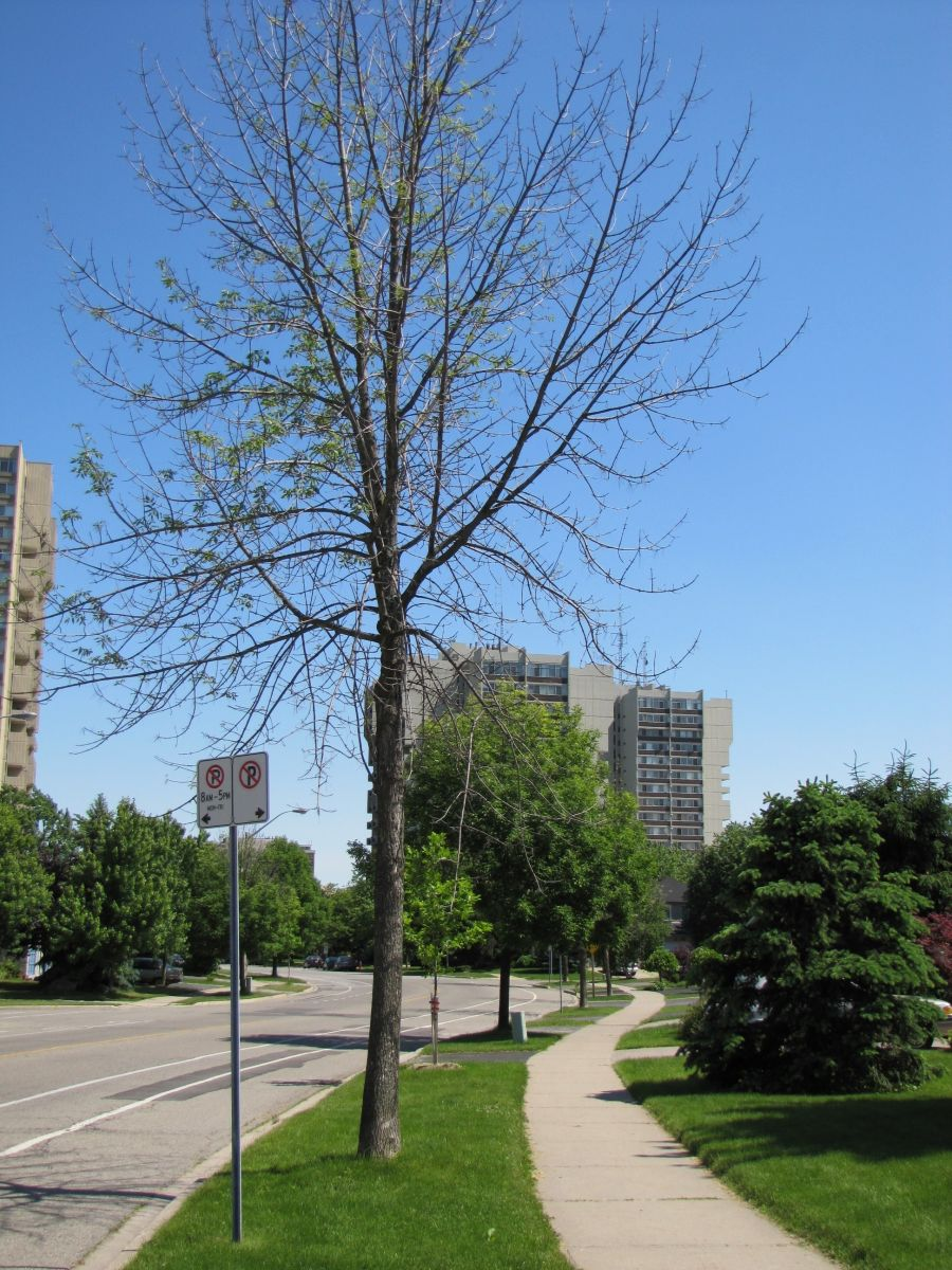 Photo of infested and non-infested ash trees