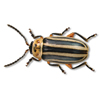 Striped willow leaf beetle